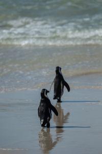 some penguins live near the equator