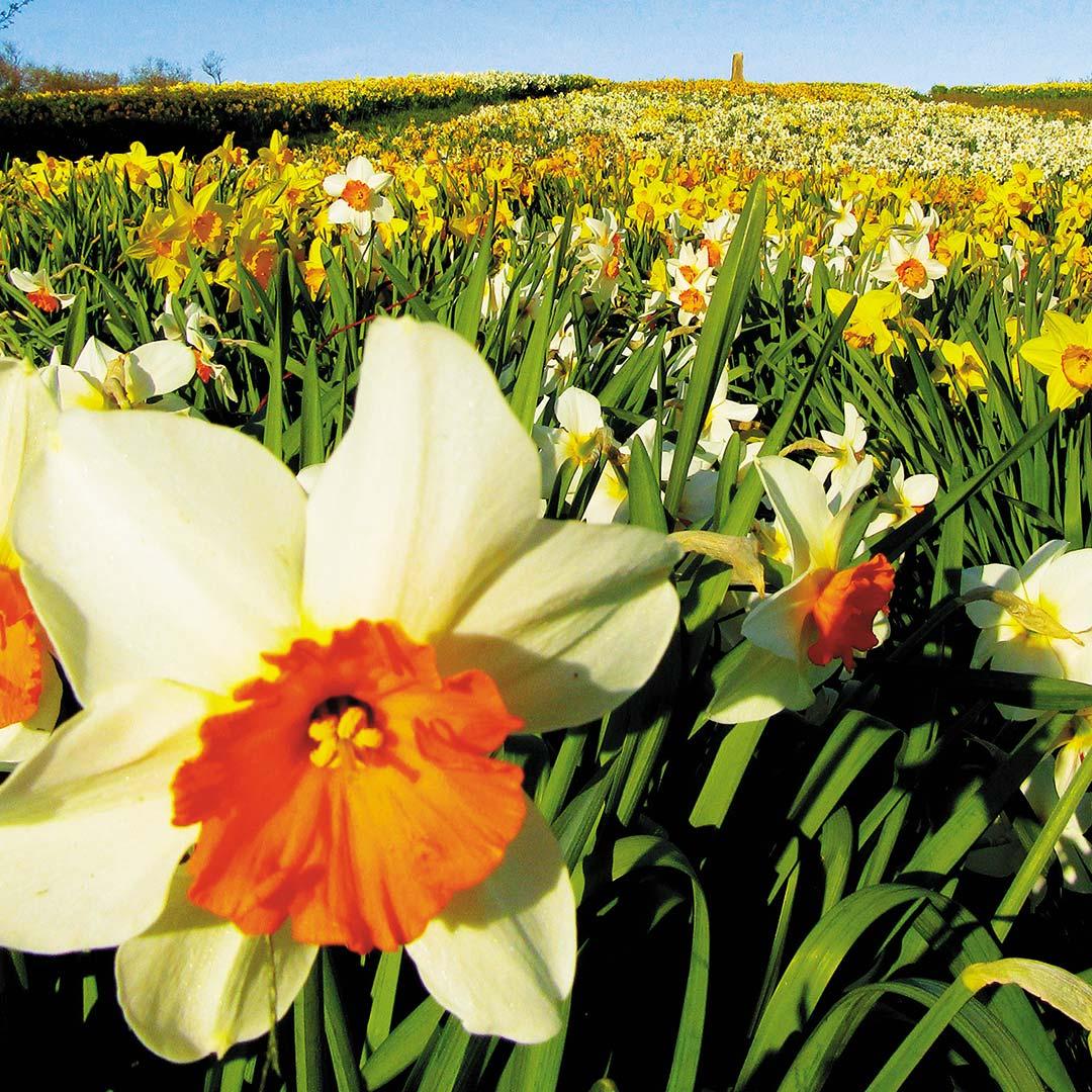 Daffodils on Block Island, RI.